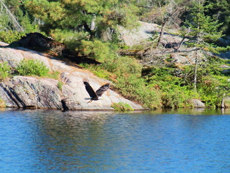 Bald Eagles and Moose and Lynx, oh my!