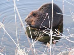 beavers 008
