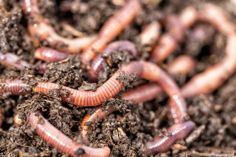 image of fresh dew worms