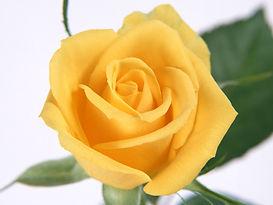 yellow rose .jpg