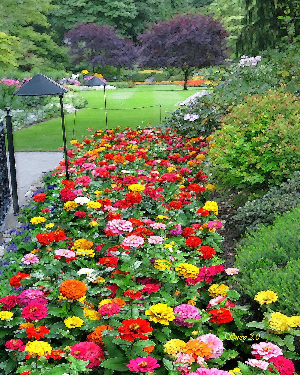 Blooming Zinnias in Butchart's Sunken Garden; Suzy 2.0