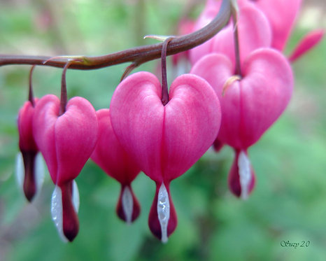 A macro giclee print of pink Bleeding Heart blooms by Suzy 2.0