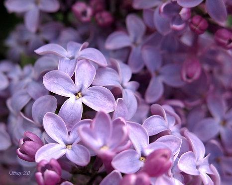 A macro giclee print of purple lilacs by Suzy 2.0