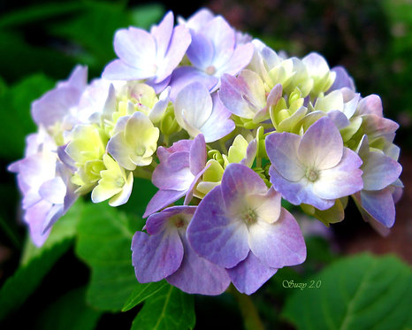 A macro giclee print of purple Hydrangea blooms by Suzy 2.0