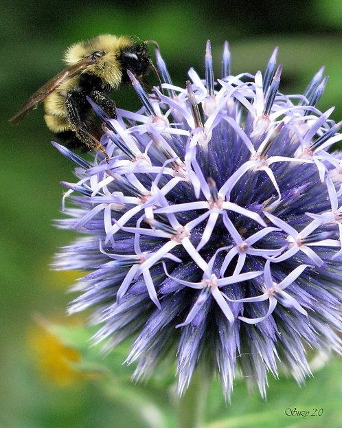A macro giclee print of a bumble bee on a blue Allium by Suzy 2.0
