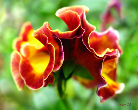 A macro giclee print of the top view of a pansy by Suzy 2.0