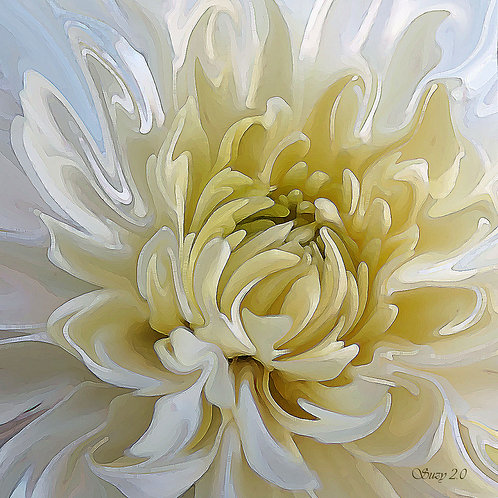 Abstract white Chrysanthemum fine art print by Suzy 2.0