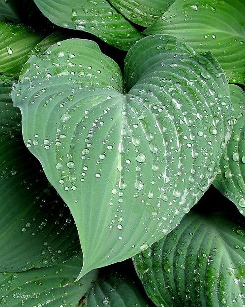 A macro giclee print of rain drops on a heart-shaped Hosta leaf by Suzy 2.0