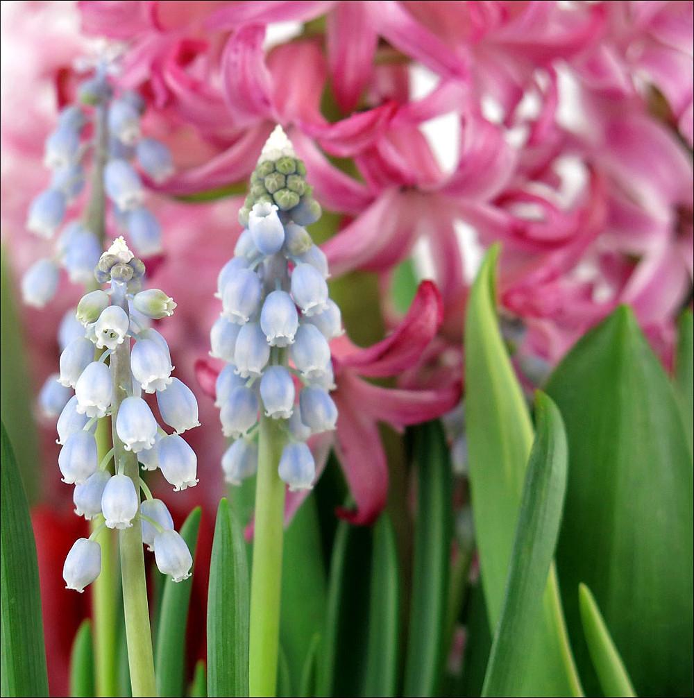 Grape Hyacinths in Full Bloom
