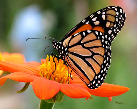 A macro giclee print of a Monarch butterfly perched on an orange Zinnia bloom by Suzy 2.0