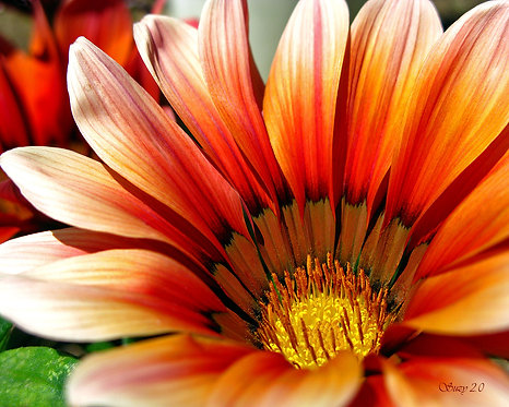 A macro giclee print of an orange African Daisy by Suzy 2.0