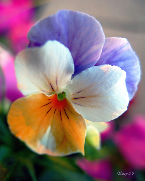 A macro giclee print of a purple, white and orange Pansy by Suzy 2.0