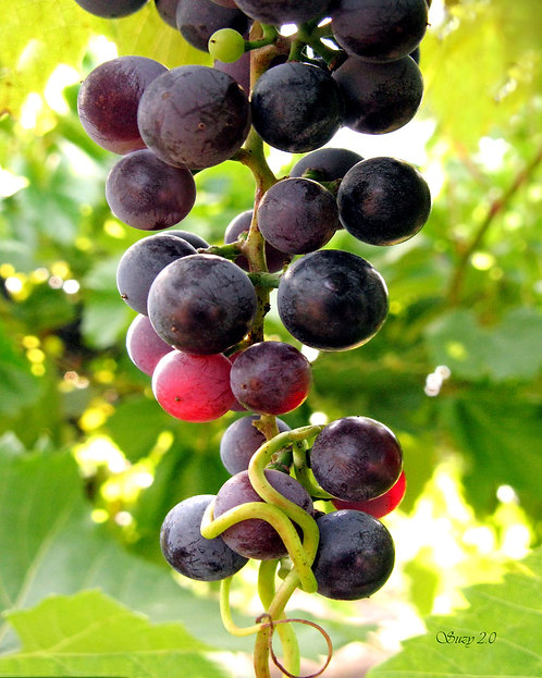 A macro giclee print of red grapes taken at the Alexis Bailey Vineyard in Hastings, Minnesota by Suzy 2.0