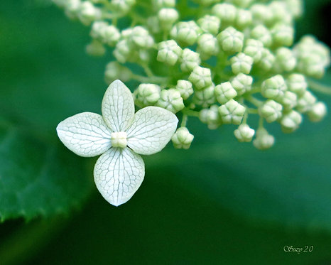 A macro giclee print of a single white Hydrangea bloom by Suzy 2.0