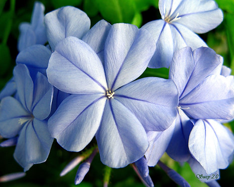 A macro giclee print of blue Plumbago Auriculata blooms by Suzy 3.0