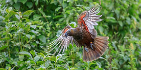 Zealandia-Natural-Reserve_Kaka__FocusFil