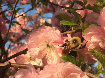 South Marysburgh: Bumblebee on Flowering Almond