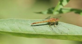 Dragonfly Sunning on Milkweed