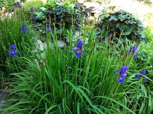 Ligularia Dentata & Iris Siberica