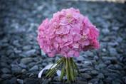 hortenzia - rózsa