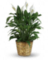 elegant-spathiphyllum-flower-arrangement