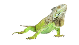 iguana_PNG7.png