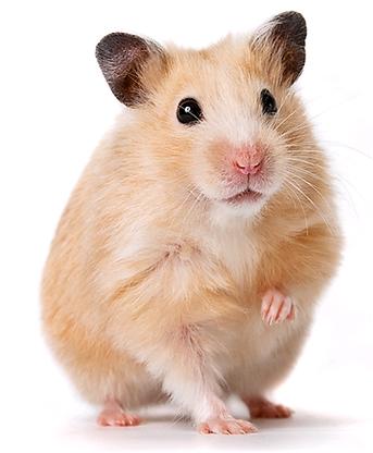 hamster-png-free-hamsterpng-transparent-