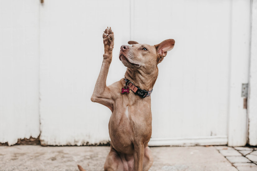 Dog looking up with it's paw in the air