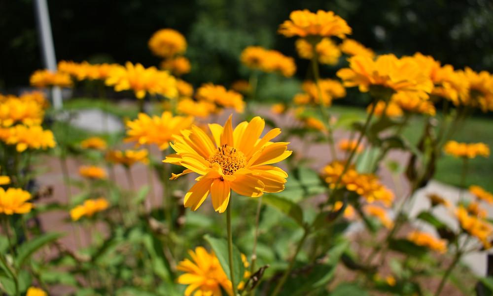 native false sunflower in bloom