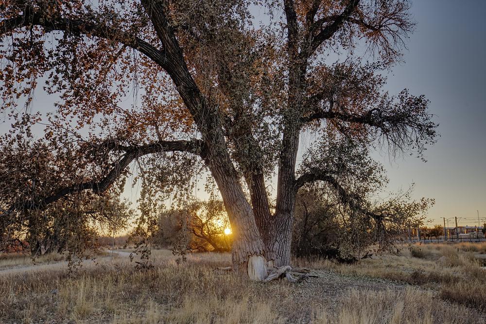 Sacred Plant Co Poplar Tree