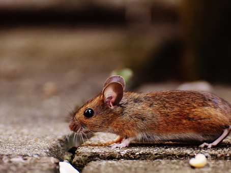Why You Shouldn't Try to Treat Rodent Infestations Alone