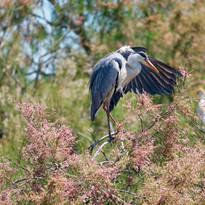 Balades ornithologiques en baie de Somme ou sur l'ile de Ré