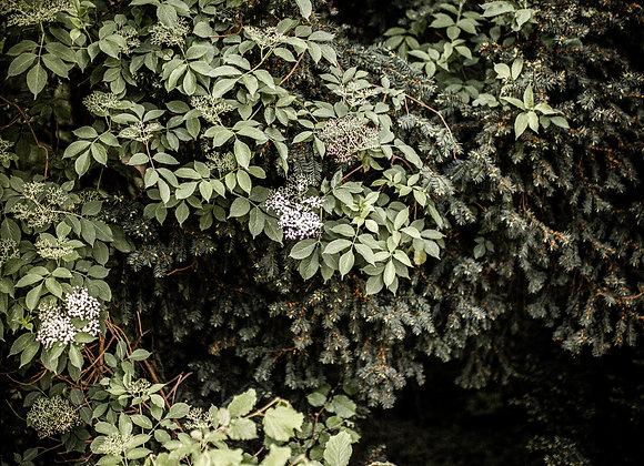 Elderflower White Balsamic