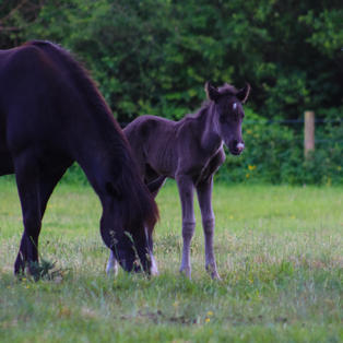 The legs of a foal are the same length as they will be when it's full grown.