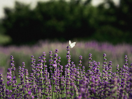 There are many types of Lavender Essential Oil, which one is right for you?