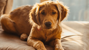 Hearing Fireworks? What You Can Do Today To Calm Your Pet.