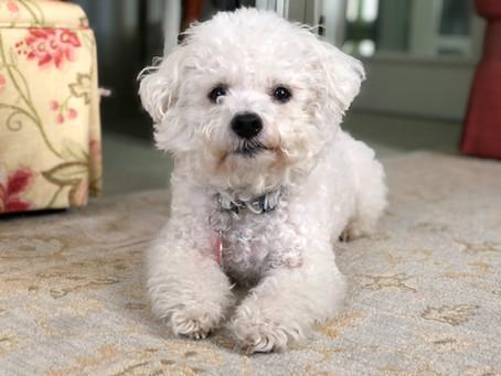 Mengenal Anjing Lucu Bichon Frise Yang Menggemaskan