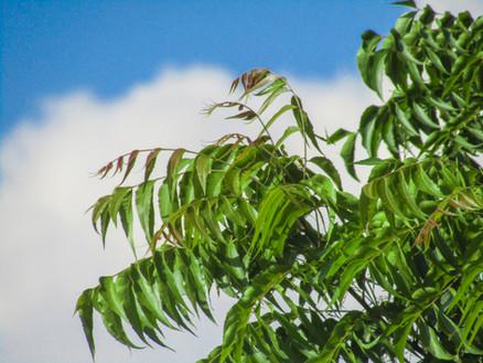 Neem: India's miracle tree