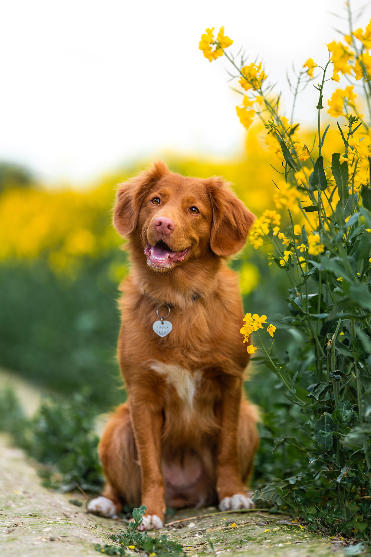 Hond in de pubertijd op wandeling