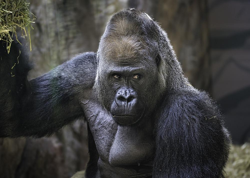 Image of large gorilla