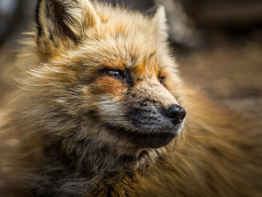 Sick fox suffers at Tiger King Park without humane euthanasia
