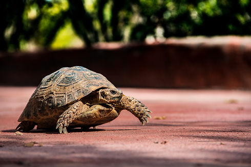 tortoise walking
