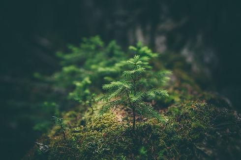small pine tree growing