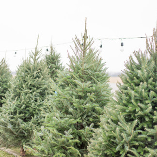 Christmas Tree Bugs: What They Are And How To Get Rid Of Them