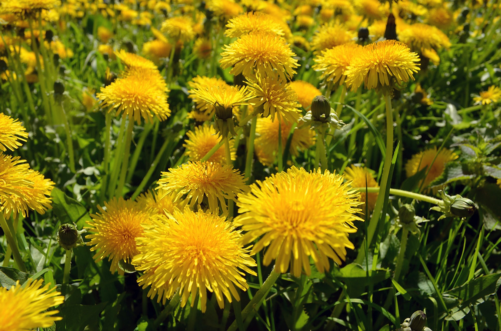 Dandelion has many physical health benefits but also has numerous magickal benefits including purification and cleansing.