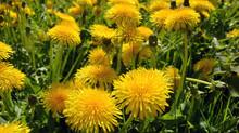 Love Your Dandelions