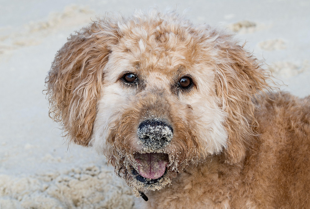 """Most doodles have a mixed coat of poodle """"hair"""" and wooly fur."""