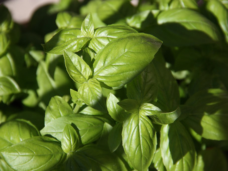 Basil, the scent of Summer