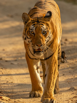 Top 5 Interesting Facts About Tigers