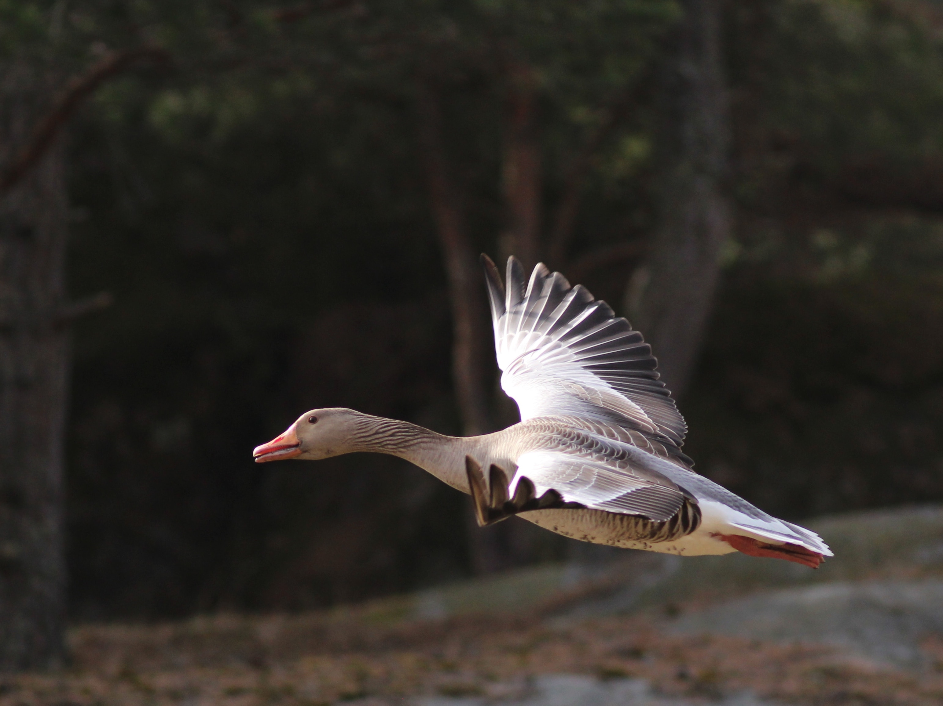 SNH defends geese culling